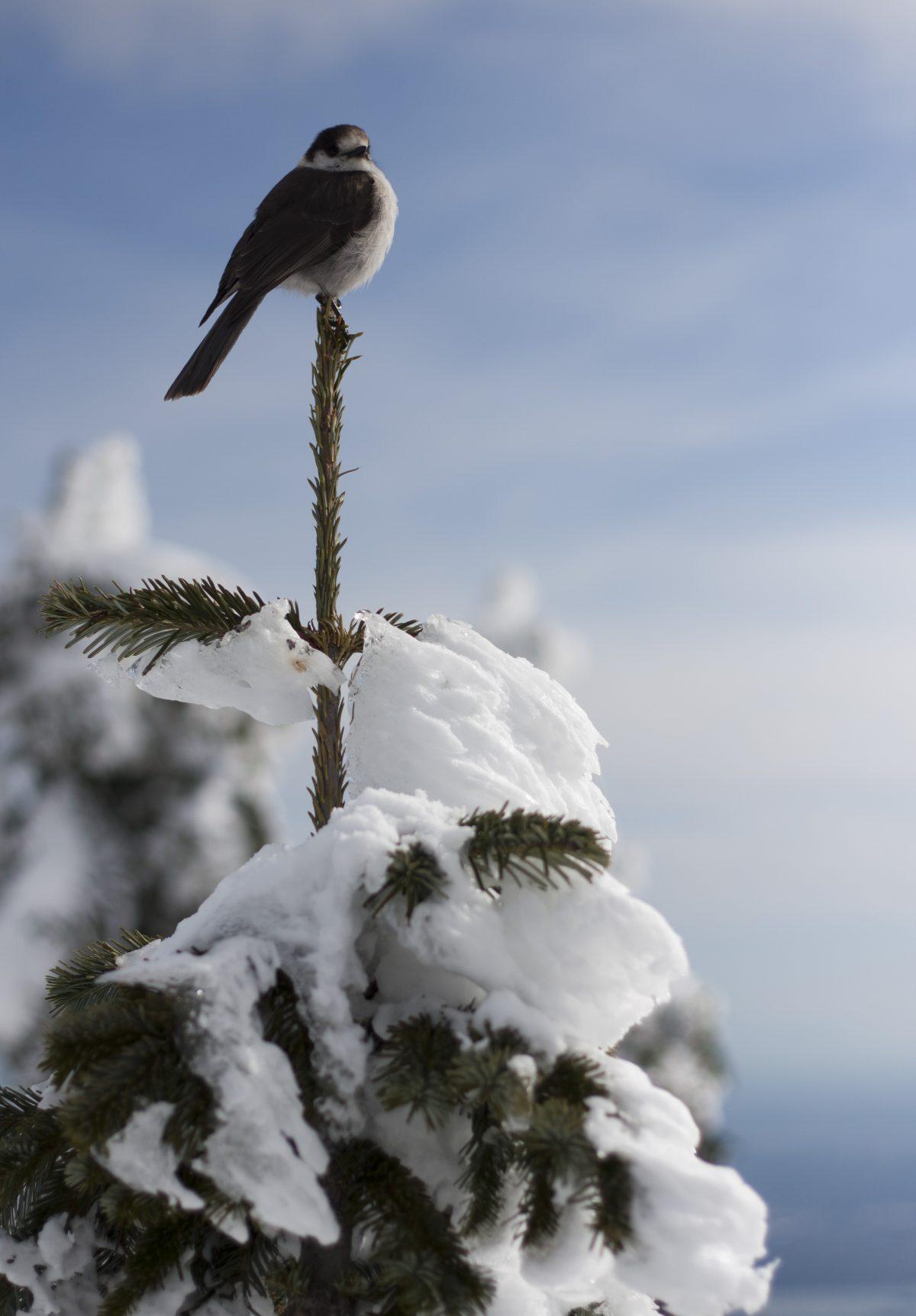 Bird - Snowshoeing at Cypress mountain, snow, tree, bird