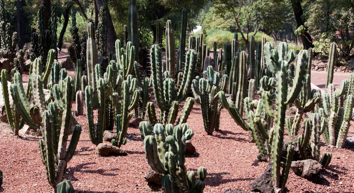 Cactus, plant, garden, cactus
