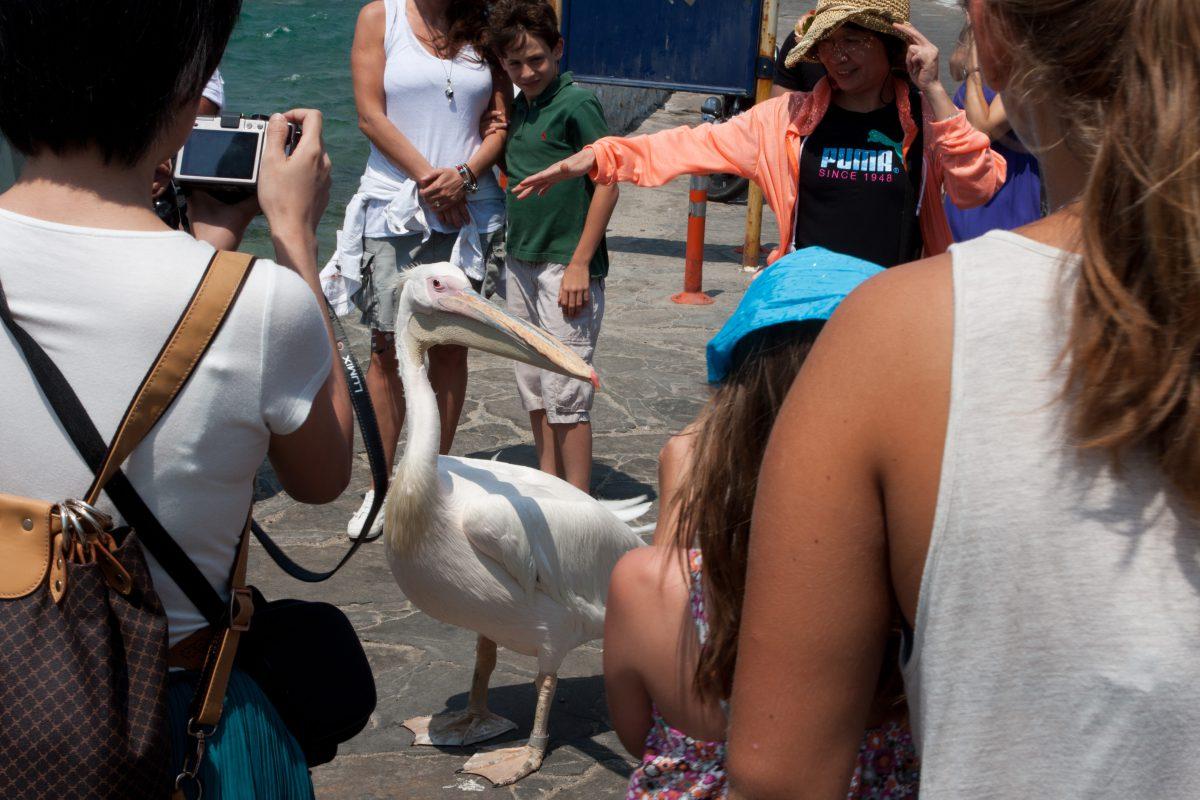 Petros the pelican, bird, tourist