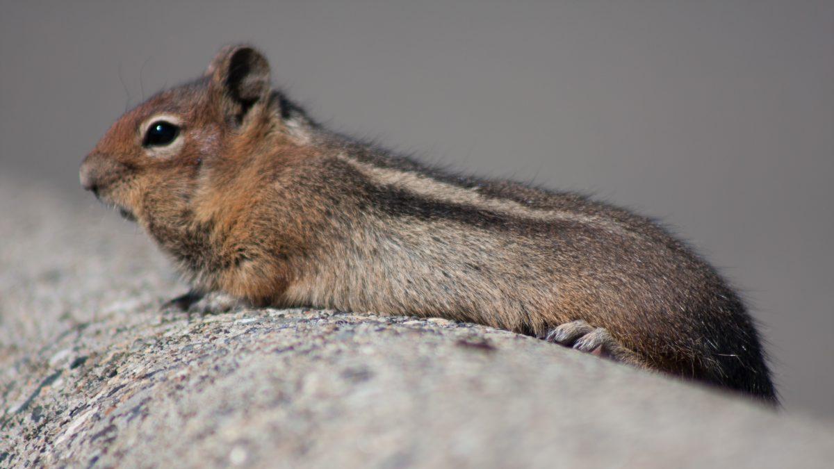 Squerel, portrait, squirrel