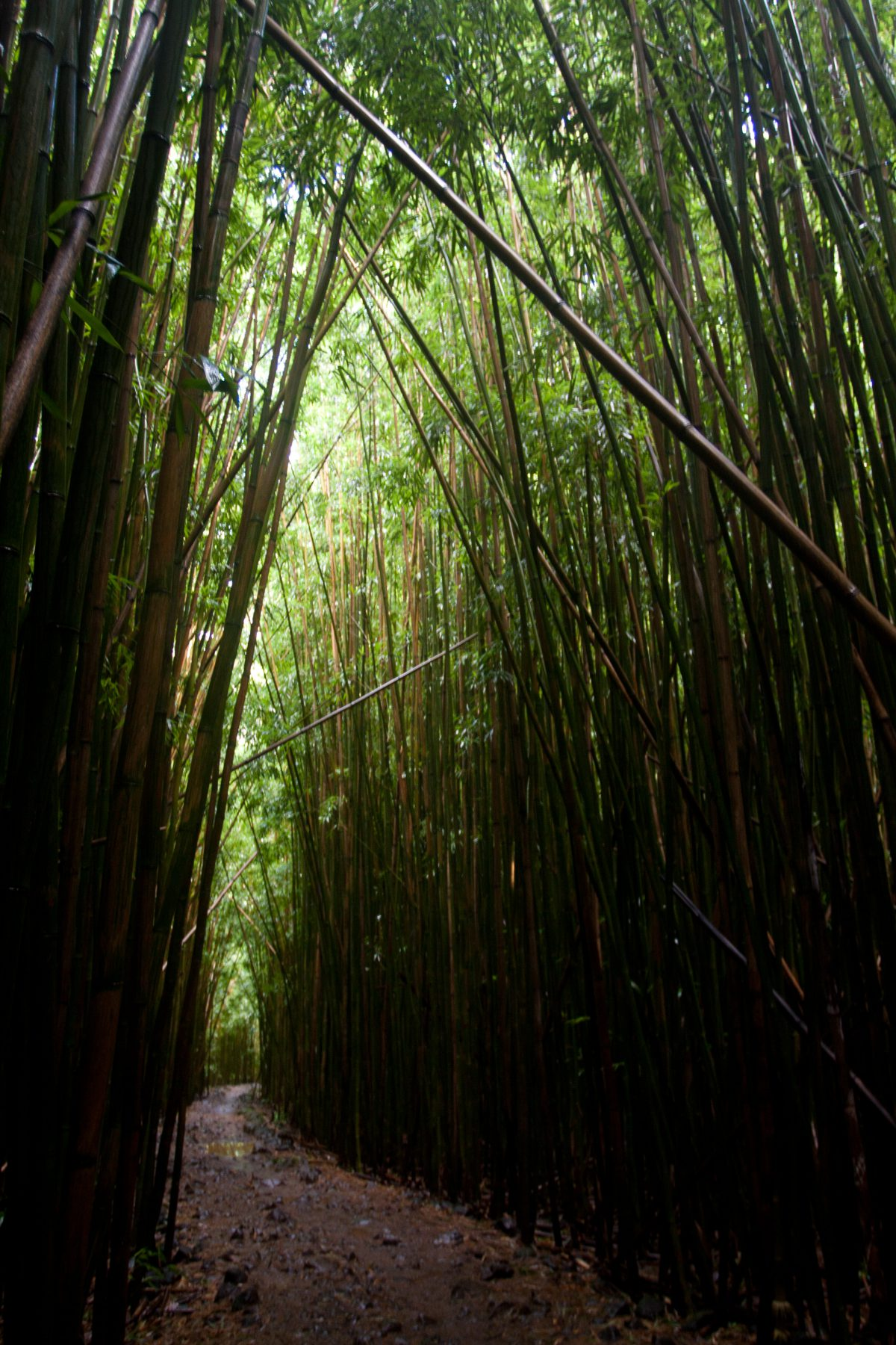 Kipahulu - Bamboo forest, forest, tree, trail, bamboo