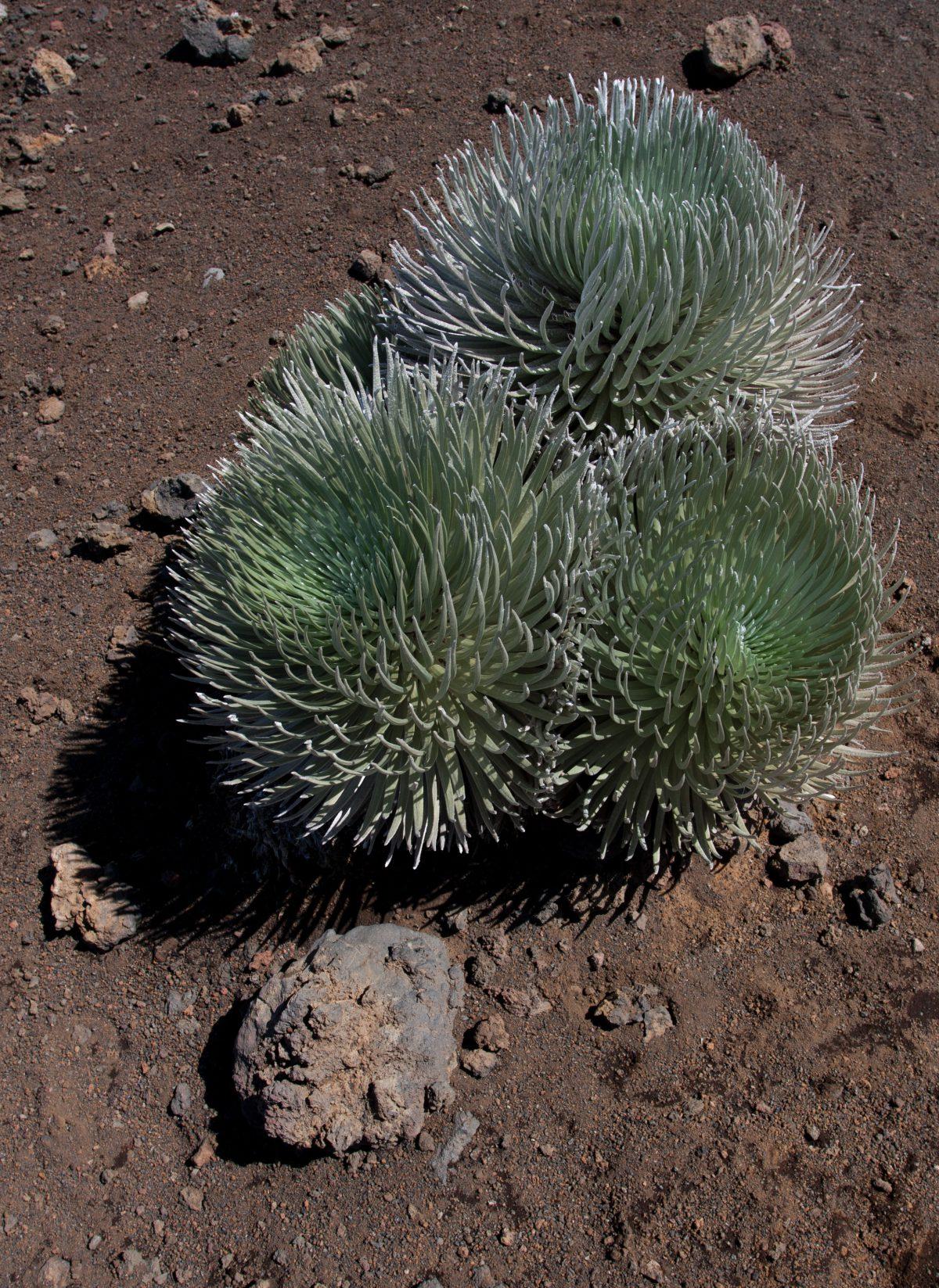 Haleakala, plant