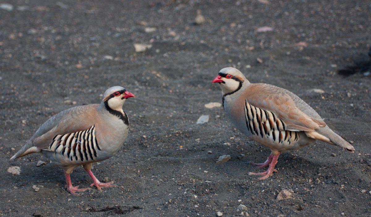 Haleakala, bird
