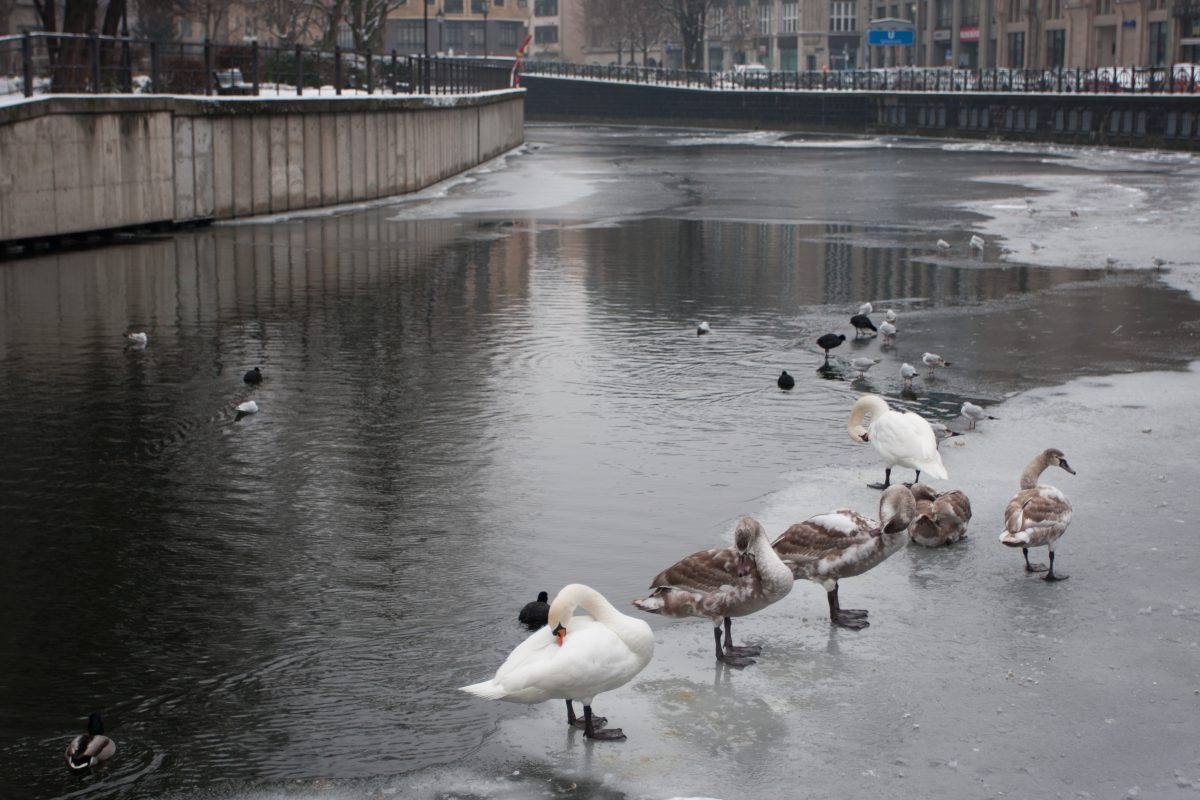 ice, river, city, duck, animal