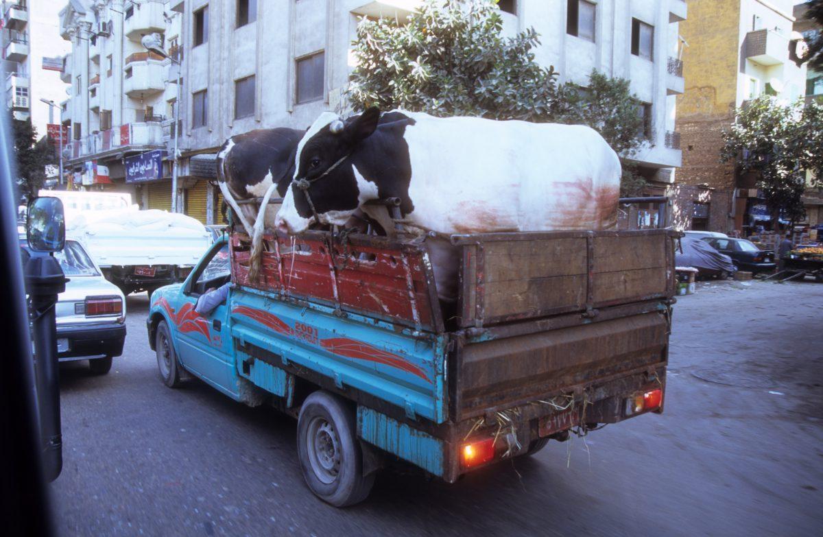 animal, car, street
