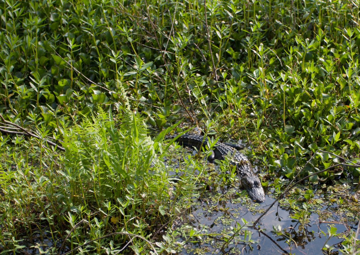 swamp, forest, aligator