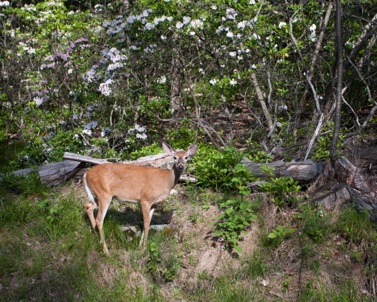 Bear Mountain, forest, deer