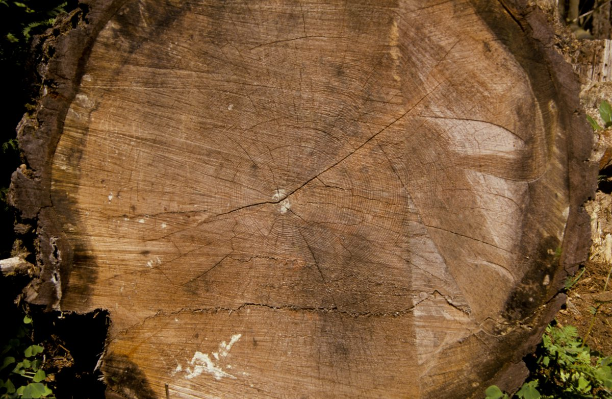 centuries, tree