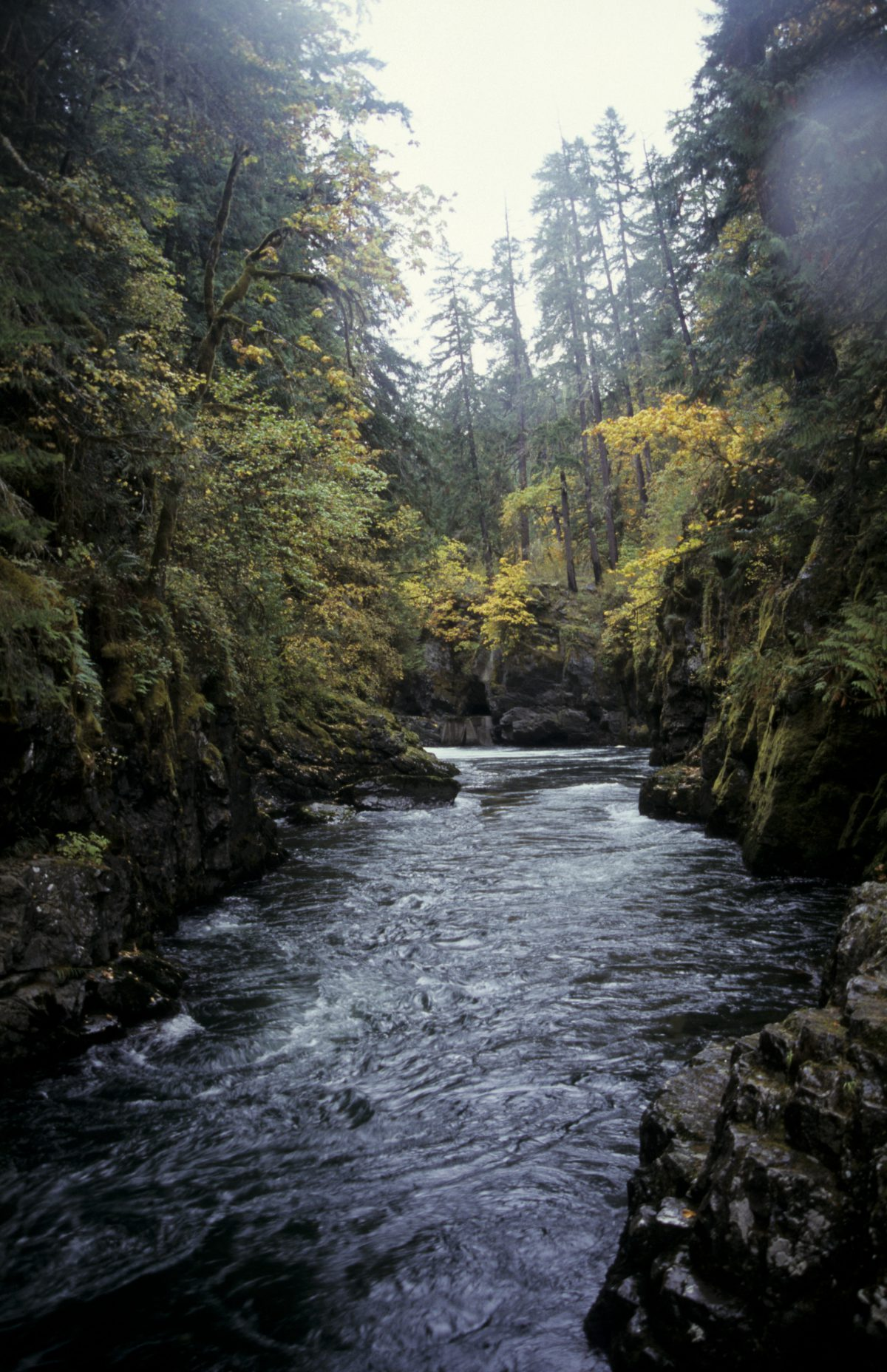 River - with Salmons swimming upstream, forest, river